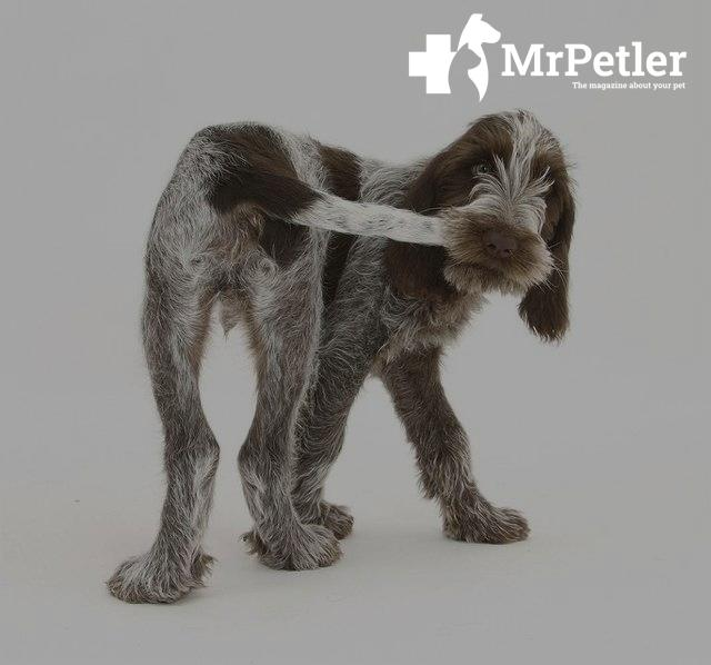 Dislocation of the dog's tail