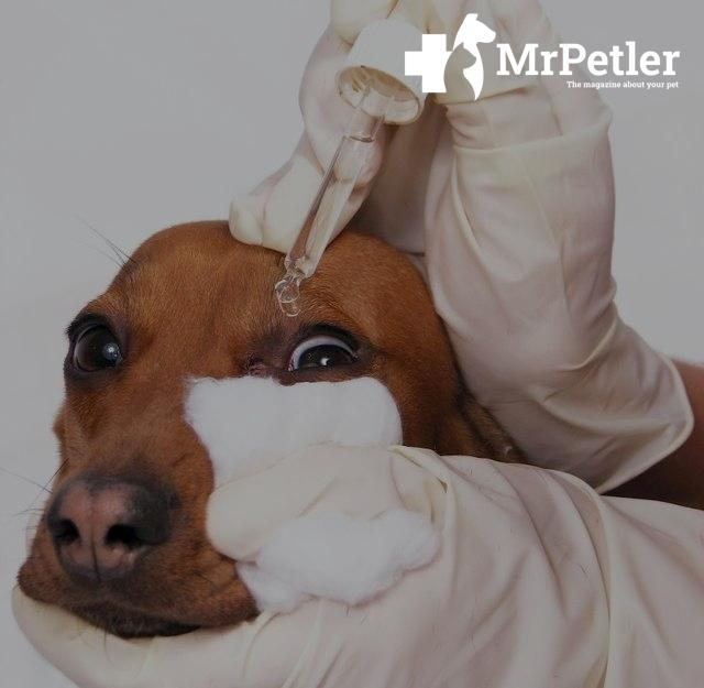 The selection of the eye in dogs