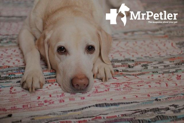 Problems of treating hypothyroidism in dogs