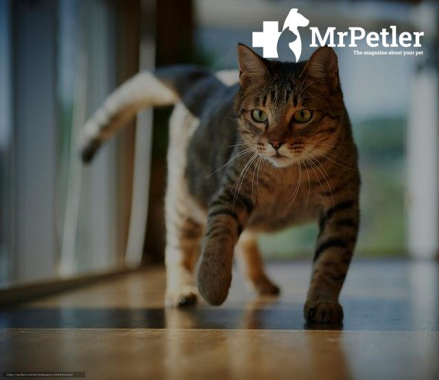The cat is walking down the hall