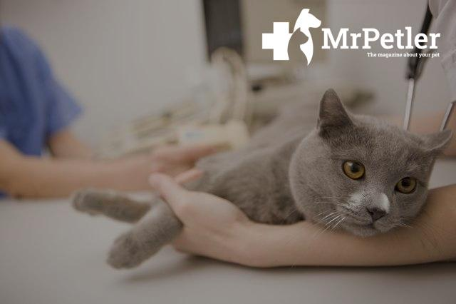 The cat is being examined by a veterinarian