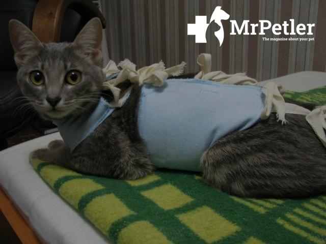 Cat in a bandage after surgery