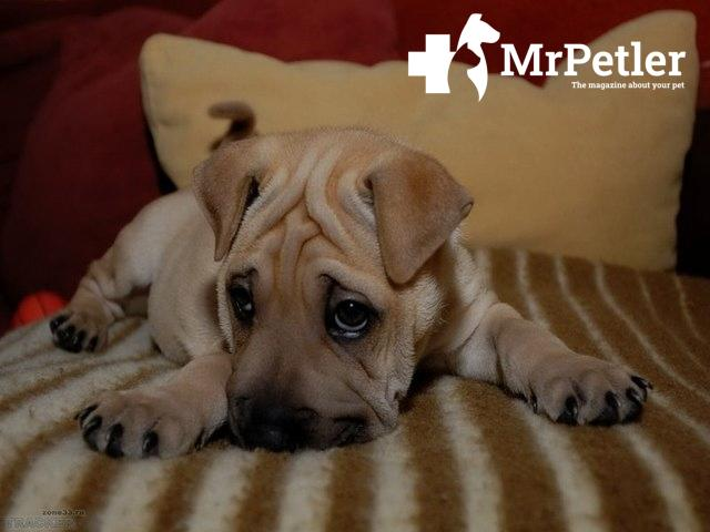 Shar Pei puppy on the bed