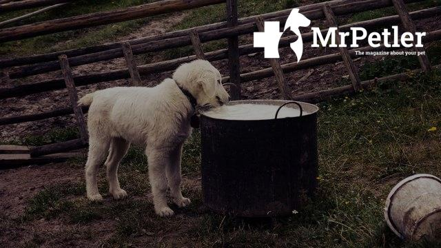 Dog drinks from a barrel