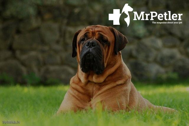 Bullmastiff on the grass