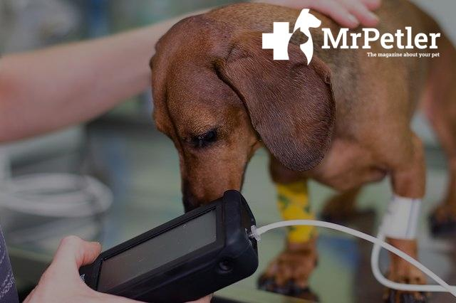 The dog's blood pressure is MEASURED