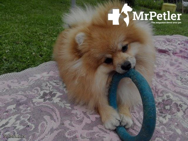 Dog playing with a rubber circle