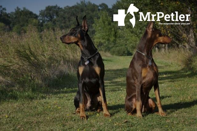 Two dobermans are in the meadow