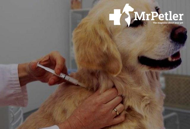 The dog is getting an injection