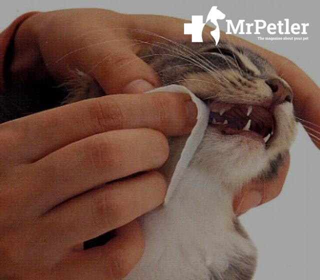 The man rubs the teeth of a cat