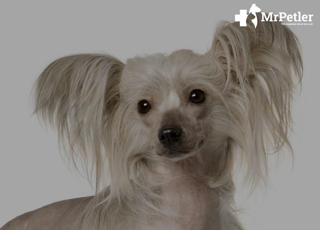 Chinese crested breed