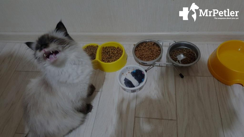 the cat refuses to eat