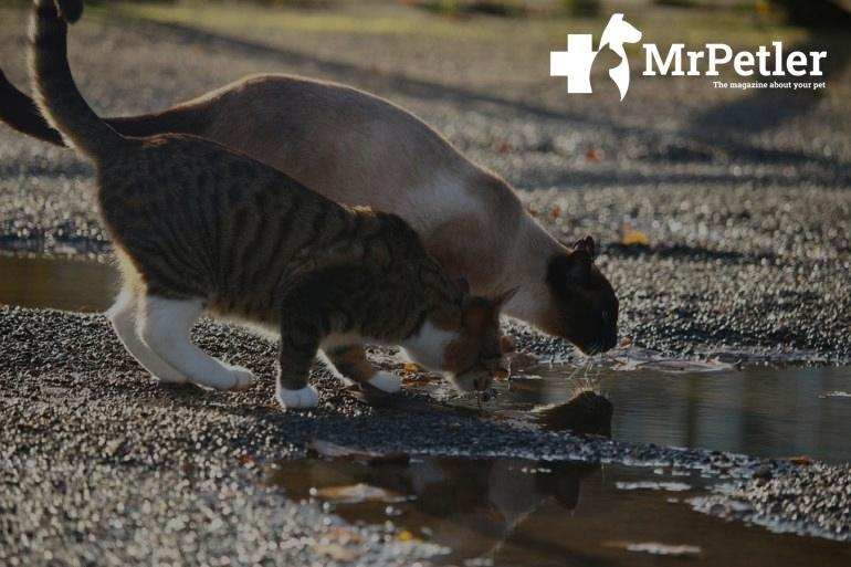 Cat drinks from a puddle