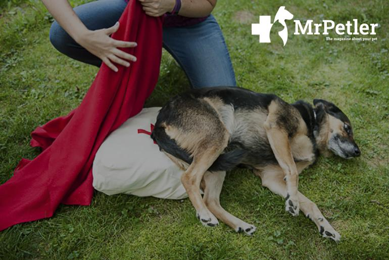 Frist aid to an injuried dog