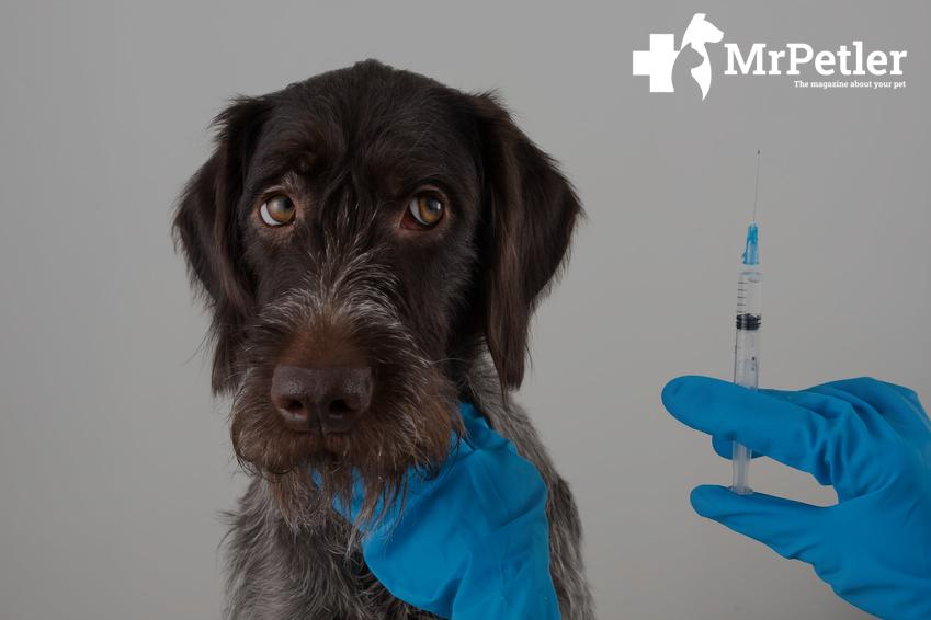 Injections to the dog