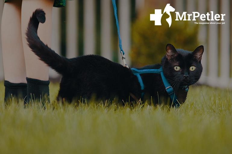 Cat on a harness