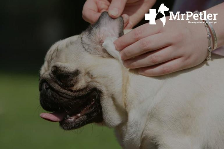 Cleaning the dog's ears