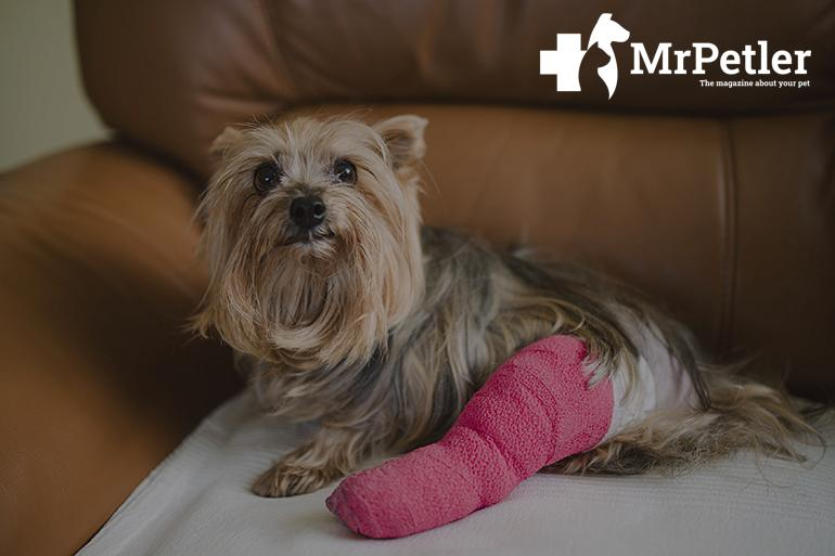 Dog with a fracture