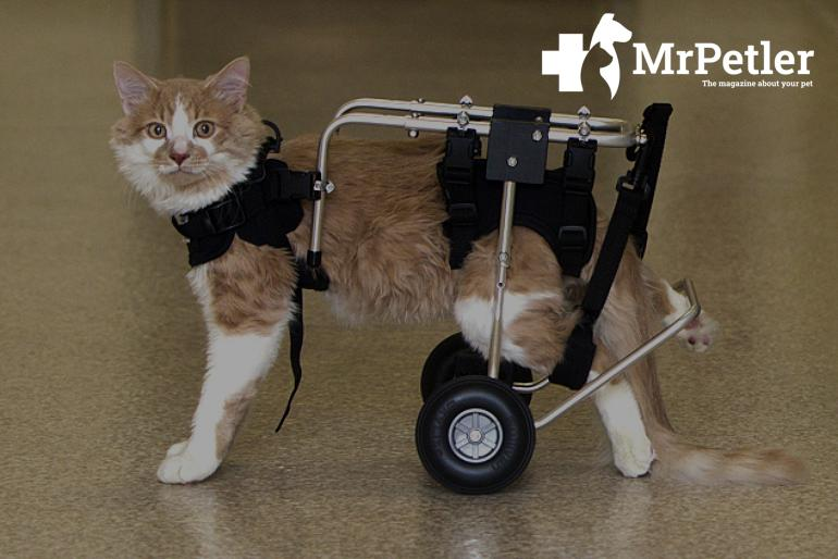 Disability in cats